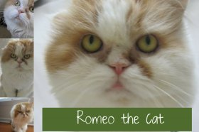 Romeo the cat A BlogPaws Icon Gets His Wings